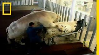 Super Cow Creators