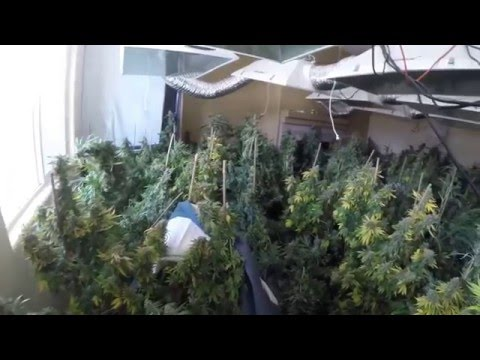 Illegal Marijuana Grow Bust