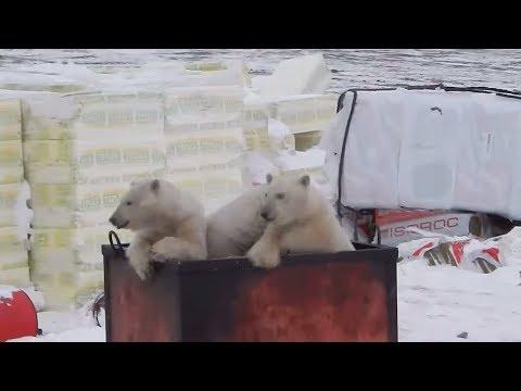 Klimawandel: Eisbären überfallen Dörfer in Sibirien, A ...