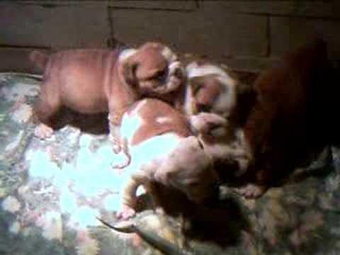 vendo cuccioli di bulldog inglese figli di campioni per contattarmi cell. 339 6537387 non accetto mail