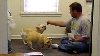 Geriatric French Bulldog