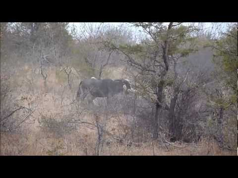 Lions &amp; Wildebeests (hunt &amp; kill) &#8211; Kruger National Park &#8211; July 2012