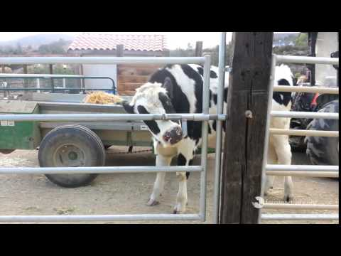 Cow outsmarts gate!