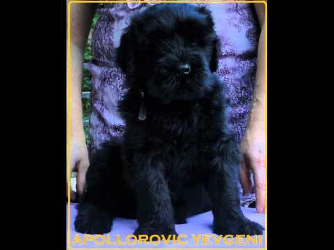 Vendita cuccioli terrier nero russo