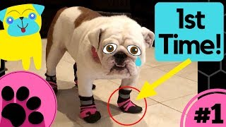 10 Funny and Cute Dogs Trying on Dog Shoes for the First Time!