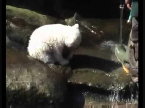 RIP Knut (видео)