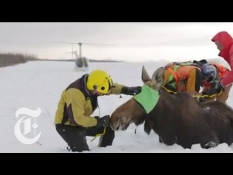 Moose Populations Affected by Global Warming