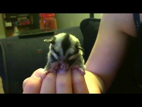 Sugar Glider Joey Washing Her Face
