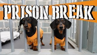 Ep 8: WIENER DOG PRISON BREAK - Funny Dogs Escaping Jail!