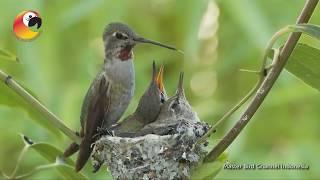 Download Video Perjuangan Burung Kolibri MP3 3GP MP4