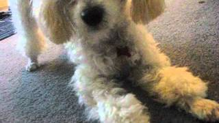 Miniature Poodle Training 1st Week With Music By Muse