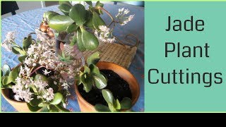 Propagating a Jade Plant Cuttings