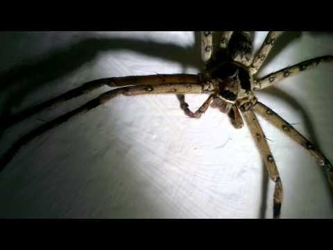 超級大的蜘蛛怎麼不會動?原來......