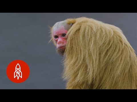 An Up Close Meeting With a Beautiful RedFaced Bald Uakari Monkey of the