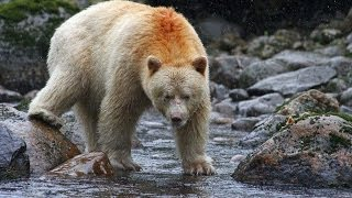 Video Spirit bear / Kermode bear catching and eating salmon MP3, 3GP, MP4, WEBM, AVI, FLV Agustus 2017