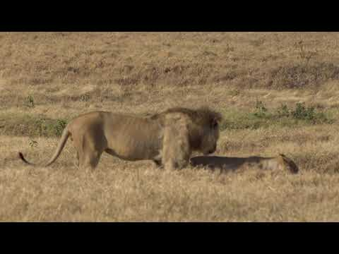 Lions in the Ngorongoro