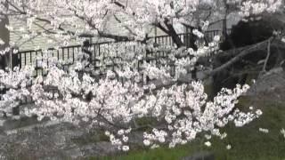 羽黒五条川サクラ満開・見どころ2堀田橋
