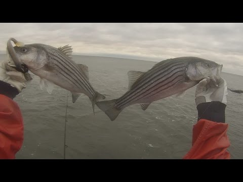Rhode Island Striper Action- Nov 2015