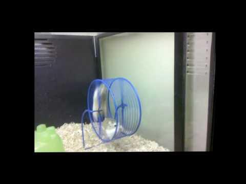 「ハムスターオリンピック!2匹のハムスターが息があった絶妙なクルクル回転♪」のイメージ