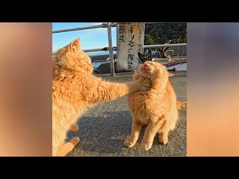 Funny cat videos - If you WATCH THIS 1000 TIMES, you will STILL LAUGH! - The FUNNIEST CATS
