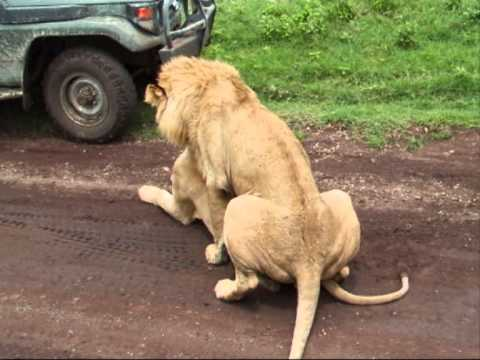 Lions Getting It On Right Next To Our Jeep