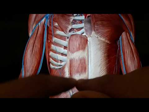 Clinical Anatomy - Anterior Abdominal Wall - Rectus Abdominis - Epigastric Arteries Anastomosis