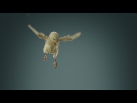 Flying chicks