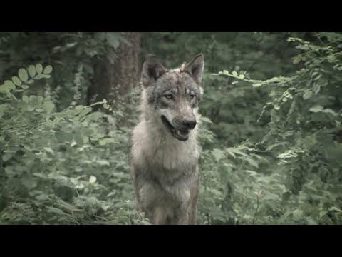 Agrarministerin Klöckner: Scharfe Kritik an Wolfs-Plänen  ...