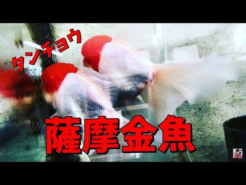 丹頂 24cm 薩摩産 金魚と遊ぶ.com