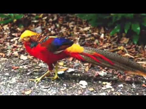 Burung tantina lagu daerah