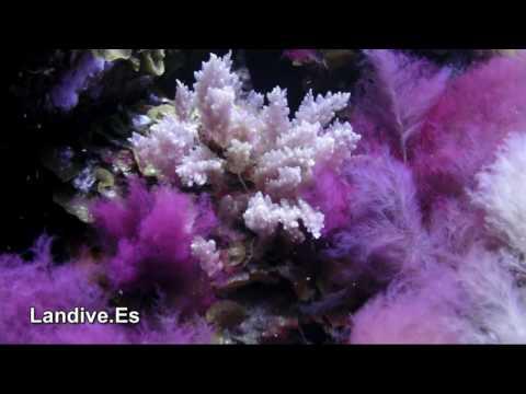 LANDIVE.ES - Inmersiones en La Restinga 2 - isla de El Hierro - Canarias
