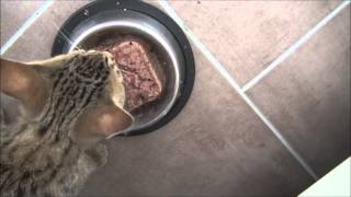 Kitten makes hilarious sounds while eating - YouTube