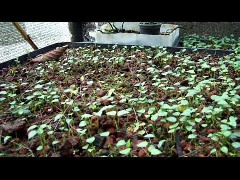 cultivo anturios - Las semillas de anturio germinan a partir de los 15 días de sembradas, mantener buena humedad, sombra y ventilación.
