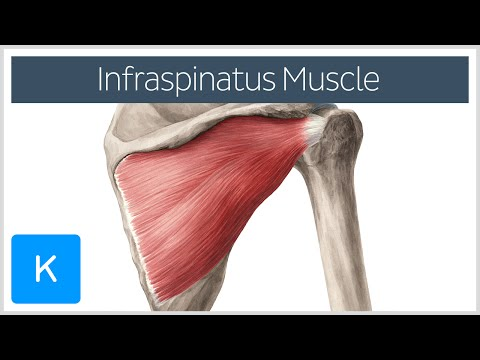 Infraspinatus Muscle - Origin, Insertion & Function - Human Anatomy | Kenhub