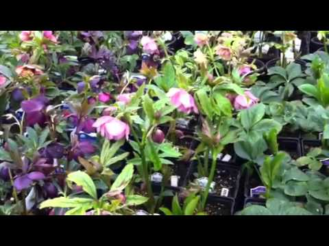 Hellebore Pink Frost - The Hellebore Hurrah! Opening Weekend is our biggest event of the year at Phoenix Perennials filled with thousands of hellebores in full bloom. We have more ...