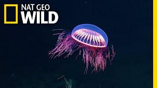 Spellbinding Jellyfish Spotted in Rare Deep Sea Footage | Nat Geo Wild by Nat Geo WILD