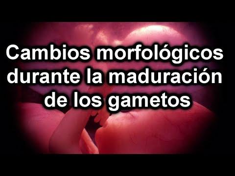 gametos - DOCUMENTAL DE EMBRIOLOGÍA - MATERIAL RESUMIDO Embriología general Embriología general - Primera Parte - Cambios morfológicos durante la maduración de los gam...