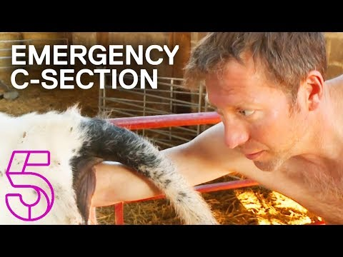 A Cow Gets an Emergency C-Section | The Yorkshire Vet | Channel 5