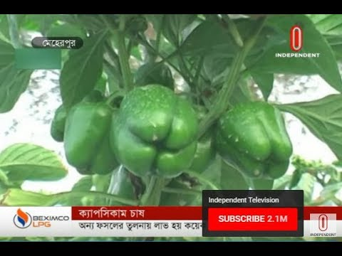 Capsicum farming (09-12-2019) Courtesy: Independent TV
