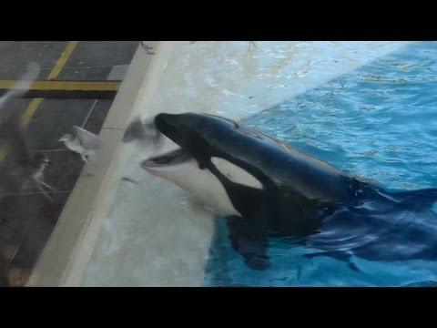Killer whale uses bait to bird hunt