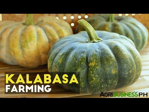 How to grow squash plant or kalabasa   Agribusiness How It Works
