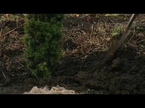 Pěstování jehličnanů