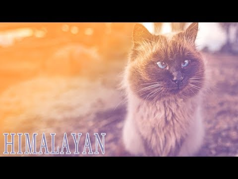 himalayan - Buy the DVD! http://www.janson.com The Ideal Companion: A DVD Guide to Cat Breeds is an indispensable