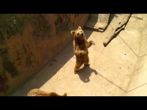 Funny Brown Bear In Lahore Zoo