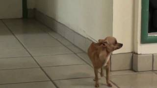 "Chihuahua with a Fractured Pelvis That ""Walks"" on His Front Legs"