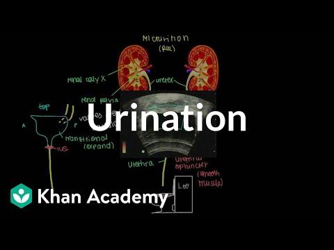 Urination | Renal system physiology | NCLEX-RN | Khan Academy