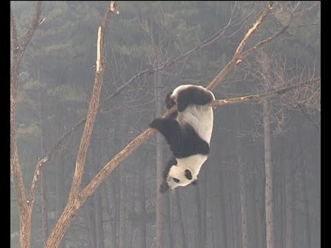Real Life Kung Fu Pandas Create a Lot of Trouble To Zoo's Staff Trying to Clean Their House