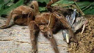 Goliath Bird-eating Spider
