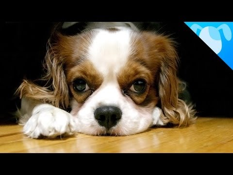 cavalier king really special dog!