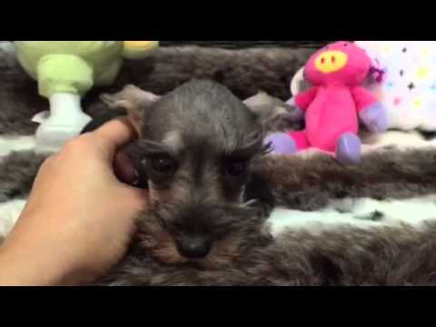 Sweet & Spunky Salt & Pepper Female Mini Schnauzer